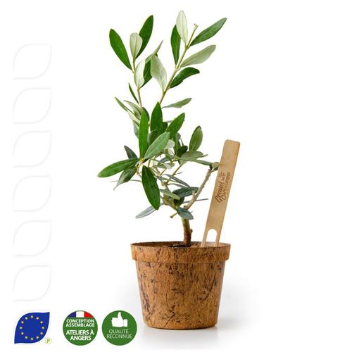 Plant d'olivier avec pot en fibres de coco biodégradable