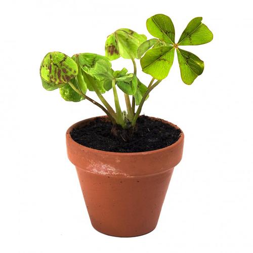 Trèfle à 4 feuilles en pot de culture terre cuite